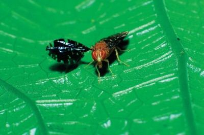 Professor Marty Condon has spent years researching what causes tropical flies to split into new species.
