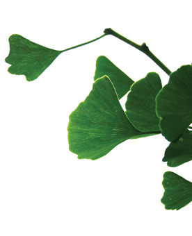 cornelliana-gingko