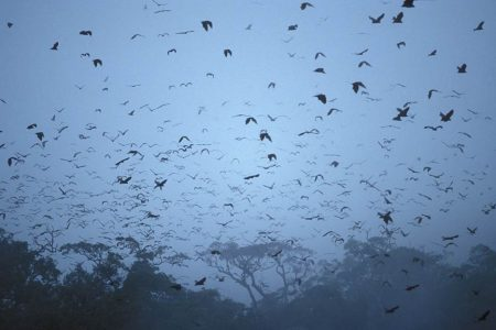 Picture of flying foxes