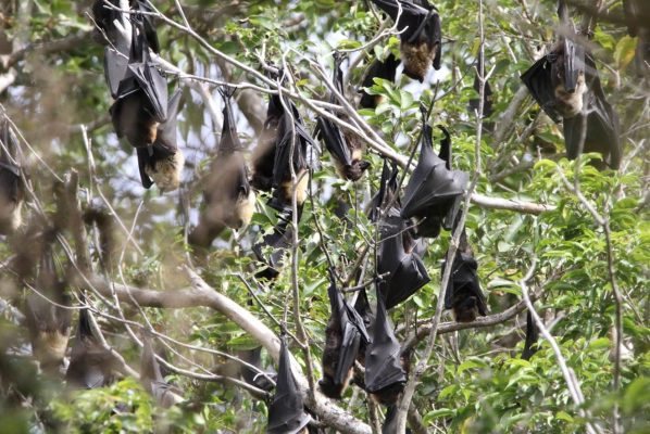 Picture of flying foxes in a tree