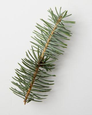 Blue spruce sprig