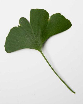 Ginkgo-leaf