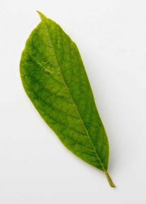 Magnolia-leaf