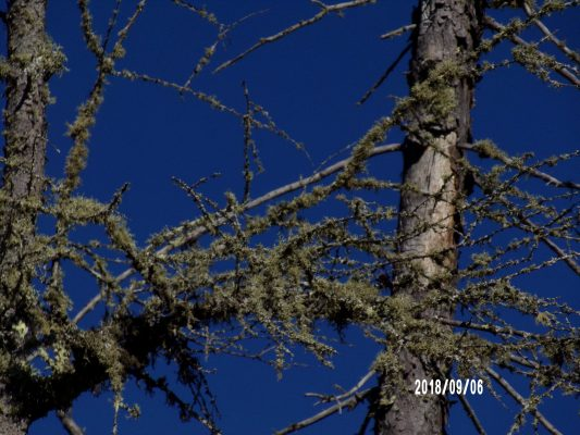 Minnesota trees taken by Natalie Bradshaw