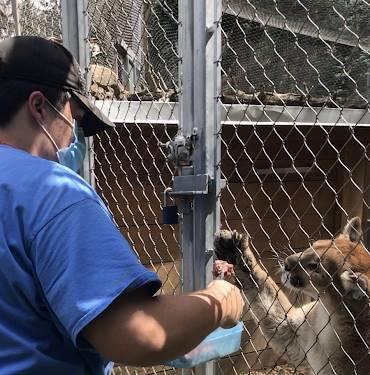 Nate Phillips feeding a mountain lion during his internship