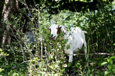 A goat eating weeds near campus
