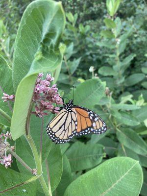 Monarch butterfly (photo by Justyna Kruczalak)