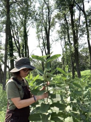 Kruczalak explores milkweed at the Forest Preserve District in DuPage County in Illinois.